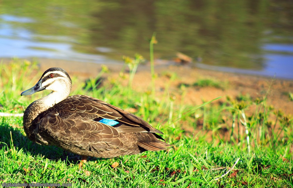 photoblog image Pacific Black Duck