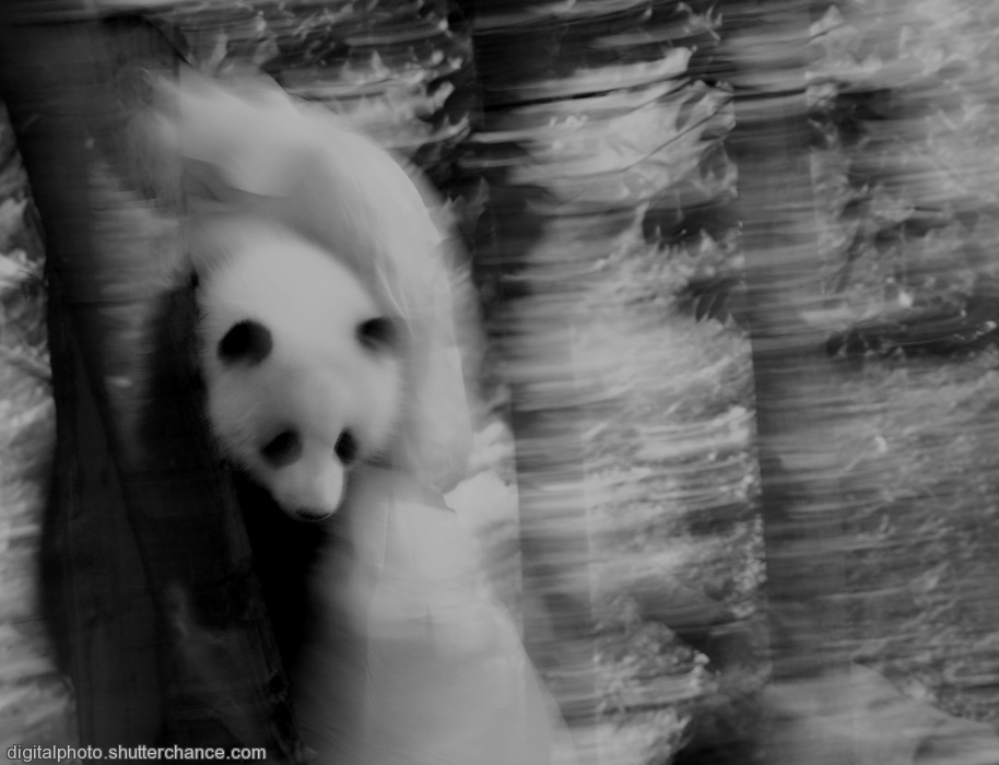 photoblog image Chengdu Home of the Giant Panda