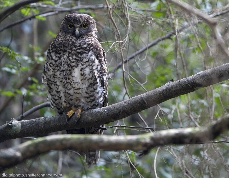 photoblog image Powerful Owl-  Ninox strenua